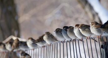 Sparrows of the Dawn- Studying the behaviour of Birds