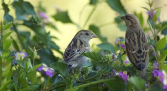 Spring Sparrows- Studying the Nesting Pattern of House Sparrows