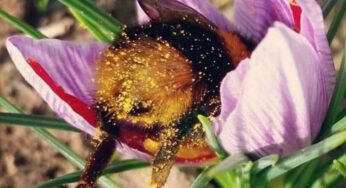 Cutest Pictures of Bumblebee's Butts making Rounds on the Internet