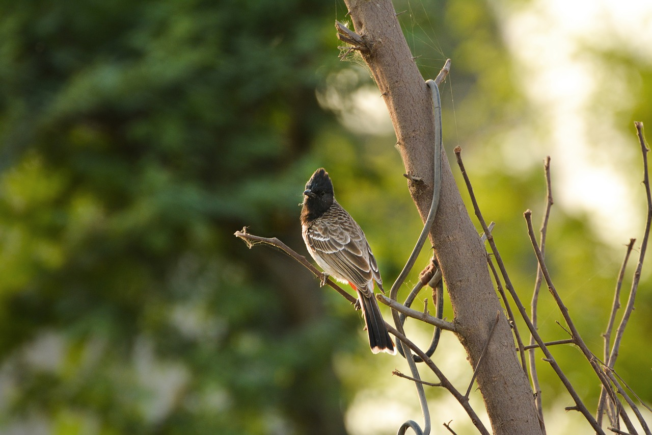 Bulbuls in the Valley: Studying the Nesting Pattern of Red-vented Bulbul