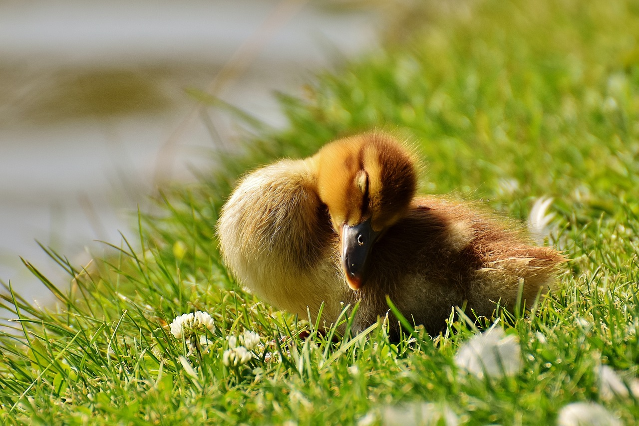 Cutest Pictures of Ducklings that'll Prove they can Express Anything