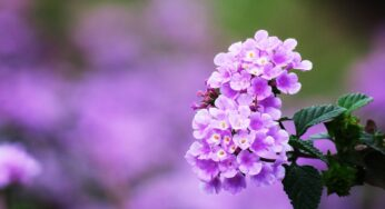 """Wildflowers in India: Let's learn about Lantana aka """"Bhoot Phool"""" in India"""