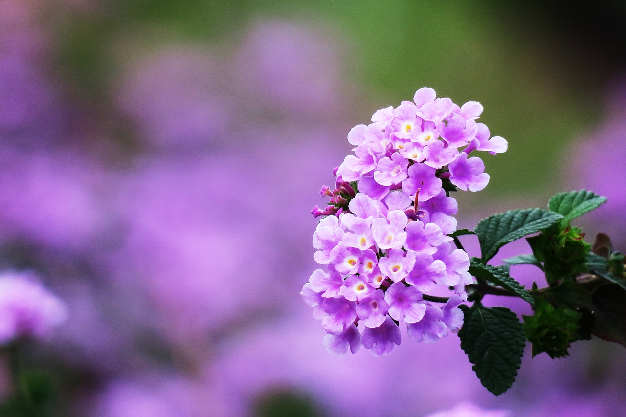 """Wildflowers in India: Let's learn about Lantana Flowers aka """"Bhoot Phool"""" in India"""
